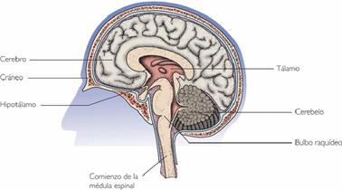 sistema nervio central: