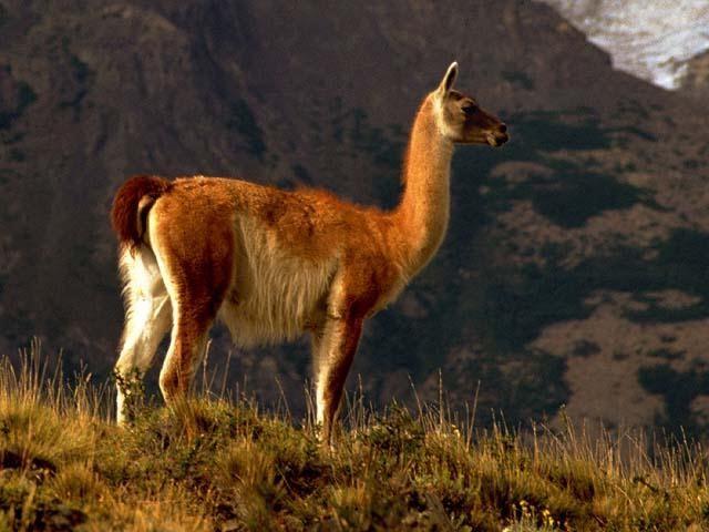 fauna de la cuarta region: