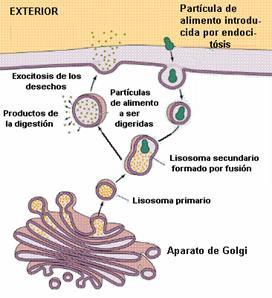 Intercambio Celular O Transporte Celular