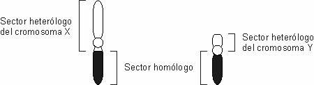 Herencia_sexo003