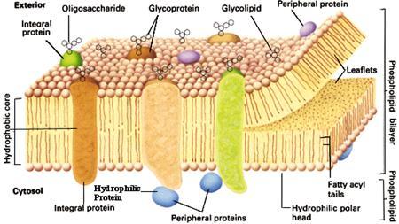 Proteinas Grasas y Lipidos Proteína o Con Lípidos