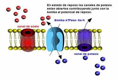 http://www.profesorenlinea.cl/imagenciencias/Sinapsis_potencial_biolectrico_image002.jpg