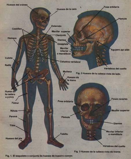 Sistema óseo: El esqueleto