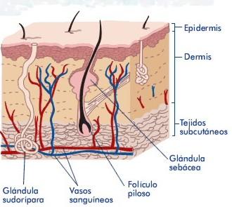 Propionovye las bacterias del acné