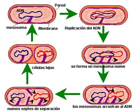 bacterias explicadas para niños