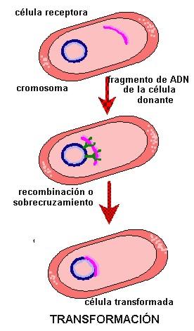 Reproduccion asexual en bacterias wikipedia