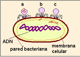 bacteria020