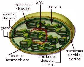Estructura del cromosoma eucariotas