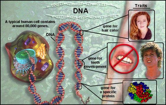 cromosoma004