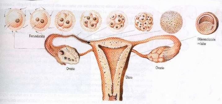 Implantacion en el utero