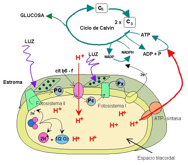funciones anabolicas y catabolicas ejemplos