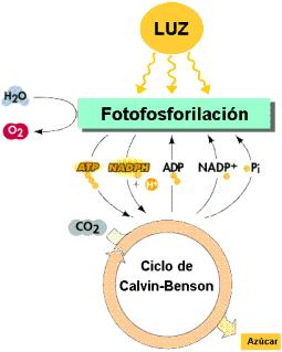external image fotosintesis04.png