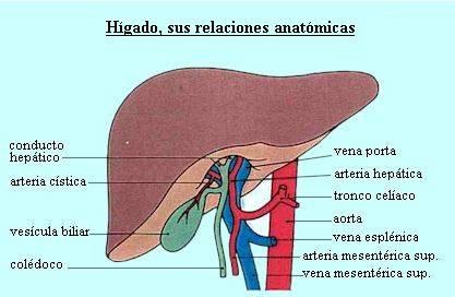 el cuerpo humano higado: