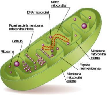 Mitochondria Location in Plant Cell