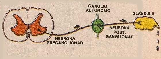 Circuito Neuronal : Neurona