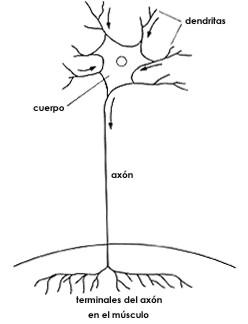 neurona007