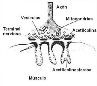 neurona013