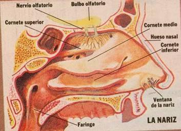 interior de la nariz: