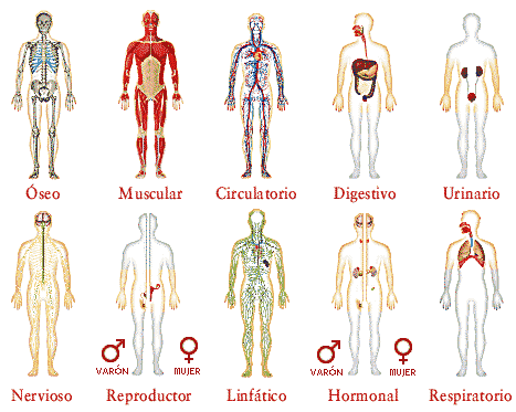 cuerpo humano organos. nervios, órganos de los