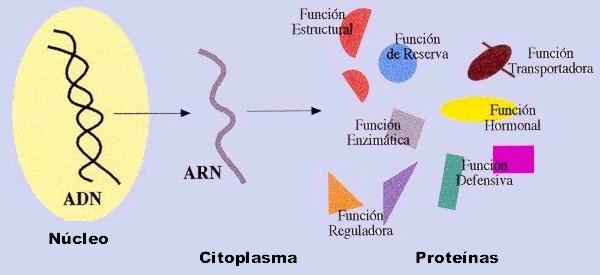 Descubren una proteina que retrasa el envejecimiento