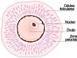 Ovogenesis y espermatogenesis