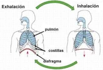 Intercambio gaseoso (respiración)