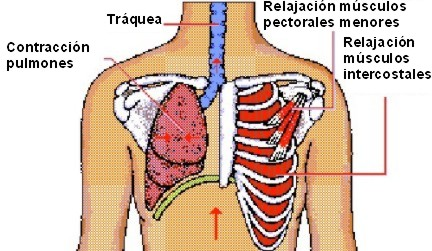 Sistema Respiratorio Conectandose Con Ciencias