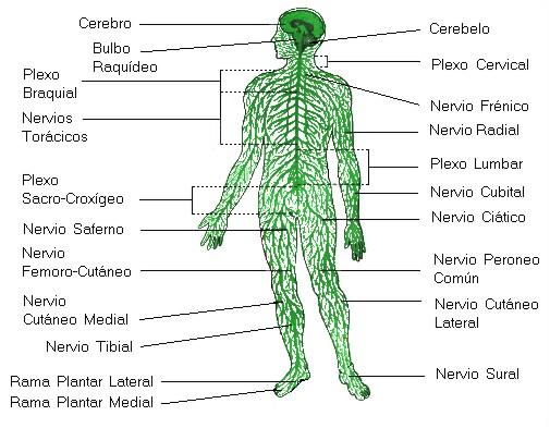 http://www.profesorenlinea.cl/imagenciencias/sistemanervioso003.jpg