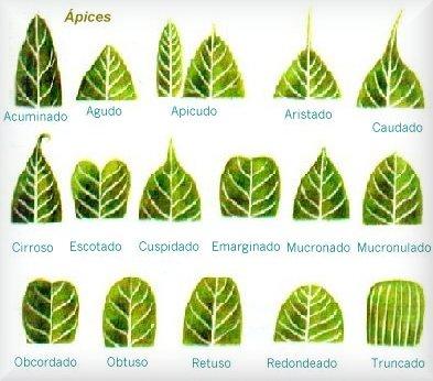 Tipos de hojas por sus nervaduras added 38930960 for Tipos de arboles y caracteristicas