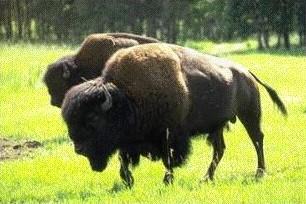 Q Es Un Bisonte Bisontes