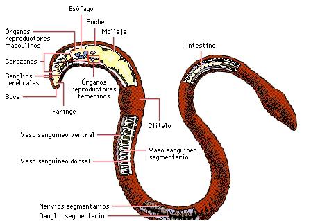 Lombriz o gusano