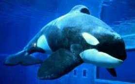 Orca o Ballena Asesina Orca01