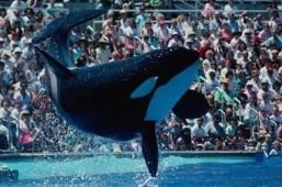 Orca o Ballena Asesina Orca03