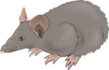la palabra ratn no est bien definida en los diversos sistemas de los ratones se han clasificado en dos grandes grupos los ratones del
